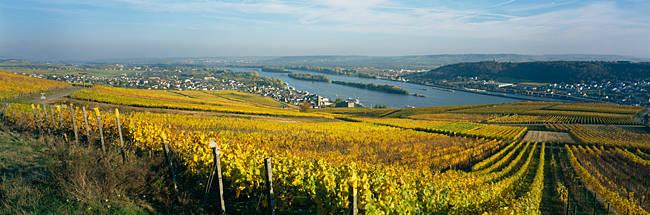 Vineyards near a town, Rudesheim, Rheingau, Germany