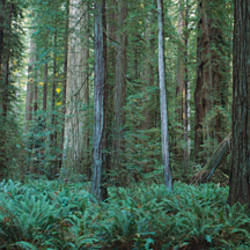 Trees along a walkway in a forest, Jedediah Smith Redwoods State Park, California, USA