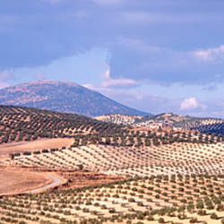 High angle view of olive trees in fields, Segura De La Sierra, Jaen Province, Andalusia, Spain