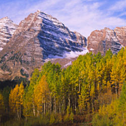 Aspen trees in a forest with a mountain range in the background, Maroon Bells, Pitkin County, Gunnison County, Colorado, USA