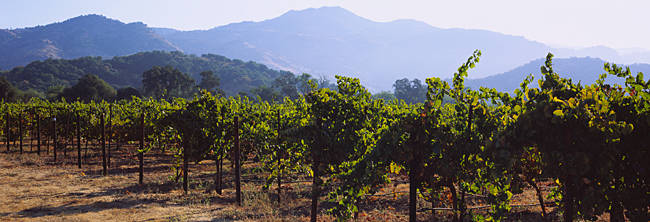 Grape vines in a vineyard, Napa Valley, Napa County, California, USA