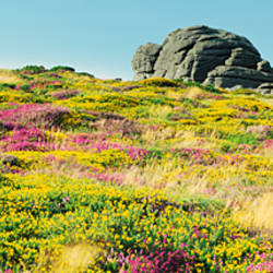Low angle view of flowers and rocks on a landscape, Haytor, Dartmoor, Devon, England