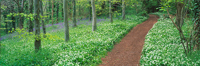 Bluebells and garlic along footpath in a forest, Killerton, Exe Valley, Devon, England