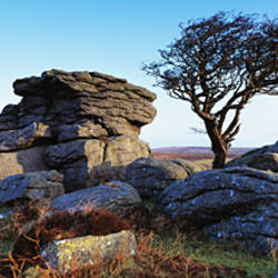 Bare tree near rocks, Haytor Rocks, Dartmoor, Devon, England