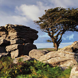 Tree near rocks, Haytor Rocks, Dartmoor, Devon, England