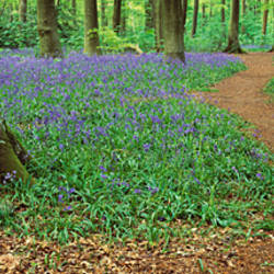 Bluebells along a walkway in a forest, Micheldever, Hampshire, England
