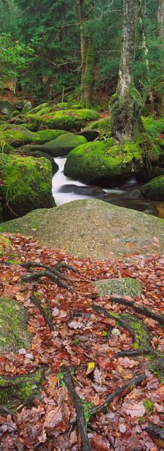 Stream flowing through a forest, Becky Brook, Dartmoor National Park, Devon, England
