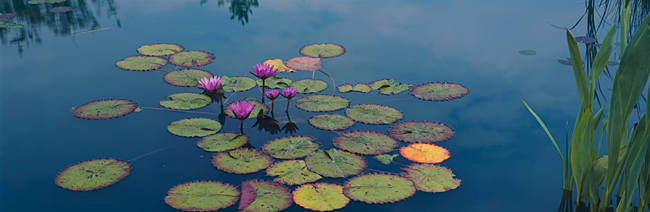 Water lilies in a pond, Denver Botanic Gardens, Denver, Colorado, USA