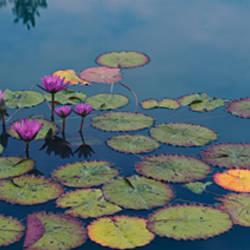 Water lilies in a pond, Denver Botanic Gardens, Denver, Colorado, USA