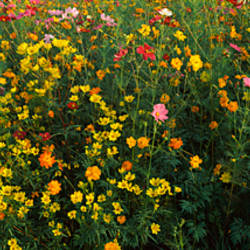 Wildflowers in a field, NCDOT Wildflower Program, Macon County, North Carolina, USA