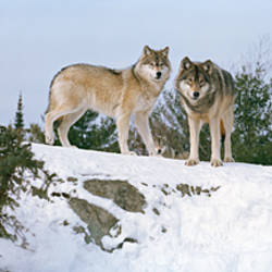 Gray wolves (Canis lupus) in a forest, Massey, Ontario, Canada