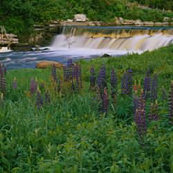 Lupine flowers in a field, Petite River, Nova Scotia, Canada