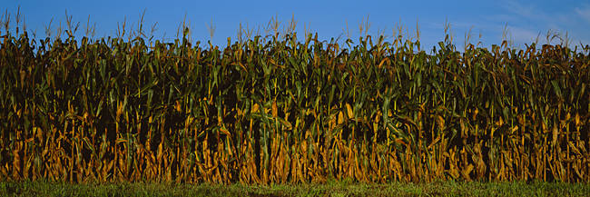 Corn crop in a field, Wisconsin, USA
