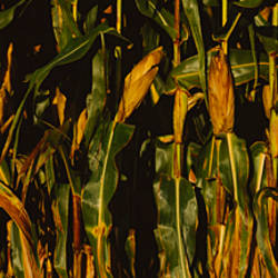 Close-up of corn crop, Wisconsin, USA