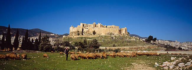 Flock of sheep grazing on a pasture, Misyaf Castle, Misyaf, Syria