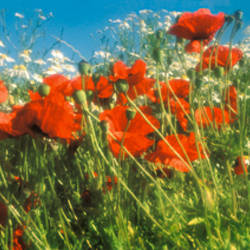 Close-up of wildflowers and poppies
