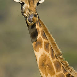Portrait of a Giraffe (Giraffa Camelopardalis Rothschildi), Lake Nakuru, Kenya