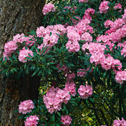 Rhododendron flowers on a plant, Oregon, USA