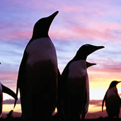 Silhouette of a group of Gentoo penguins, Falkland Islands (Pygoscelis papua)