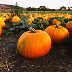 Close-up of pumpkins in a field, Half Moon Bay, California, USA