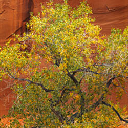 Cottonwood tree in front of a cliff, Grand Staircase-Escalante National Monument, Utah, USA