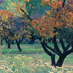 Fruit orchard in Capitol Reef National Park, UT, USA