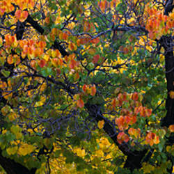 Fruit Orchard Trees, Capitol Reef National Park, UT, USA