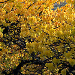 Yellow leaves on fruit trees in Capitol Reef National Park, UT, USA