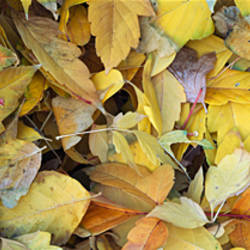 Close-up of fallen leaves, Grand Staircase-Escalante National Monument, Utah, USA