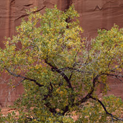 Single Cottonwood against sandstone wall near Capitol Reef National Park, UT, NR