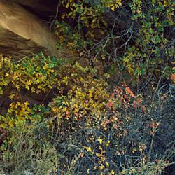 Bushes beneath a rock, Lower Calf Creek Falls, Grand Staircase-Escalante National Monument, Utah, USA