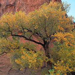 Cottonwood tree in front of a sandstone, Grand Staircase-Escalante National Monument, Utah, USA