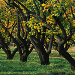 Row of trees in fruit Orchard, Capitol Reef National Park, UT, USA