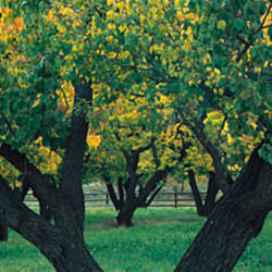 Trees in fruit orchard, Capitol Reef National Park, UT, USA