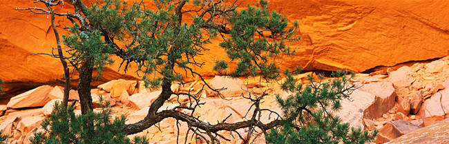 Juniper tree in front of rock formations, Grand Staircase-Escalante National Monument, Utah, USA