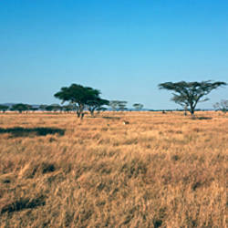 Trees on a landscape, Serengeti National Park, Tanzania