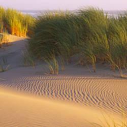 Grass on the beach, Pacific Ocean, Bandon State Natural Area, Bandon, Oregon, USA