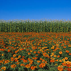 Flowers growing in front of a corn field, Gilroy, California, USA