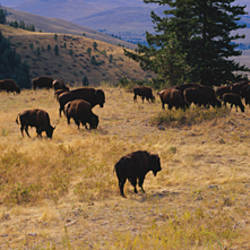 High angle view of bisons grazing, National Bison Range, Moiese, Montana, USA