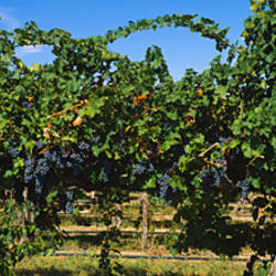 Bunch of grapes in a vineyard, Prosser, Yakima Valley Appellation, Washington State, USA