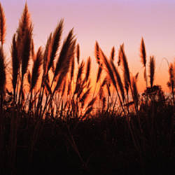 Silhouette of grass in a field at dusk, Big Sur, California, USA