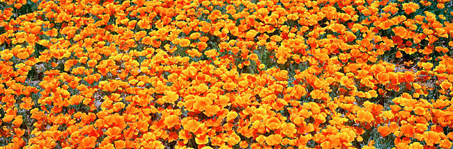 High angle view of California Golden Poppies (Eschscholzia californica), Antelope Valley California Poppy Reserve, California, USA
