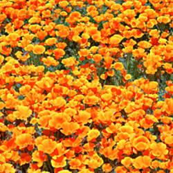 High angle view of California Golden Poppies (Eschscholzia californica), Antelope Valley California Poppy Reserve, California, USA