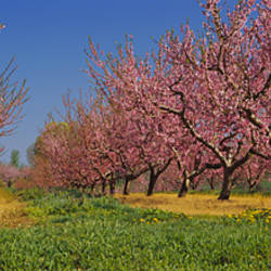 Cherry trees in an orchard, South Haven, Michigan, USA