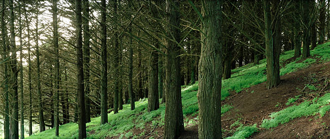Trees in a forest, Presidio Forest, San Francisco, California, USA
