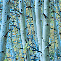 Aspen Trees In A Forest, Rock Creek Lake, California, USA Part 96