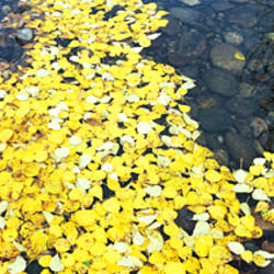 High angle view of fallen leaves floating on water, Cottonwood Creek, Grand Teton National Park, Wyoming, USA