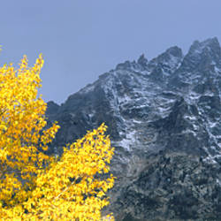 Aspen tree with mountains in background, Mt Teewinot, Grand Teton National Park, Wyoming, USA