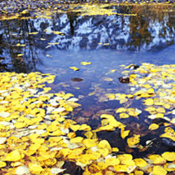 Fallen leaves floating on water, Cottonwood Creek, Grand Teton National Park, Wyoming, USA