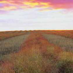 Canola crop in a field, Edmonton, Alberta, Canada